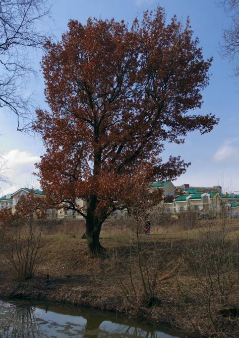 Весенний дуб. Где?